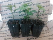 3 Pack of Plants - Butch T REAPER Scorpion