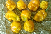 7 Pot Yellow - 1 SFRB
