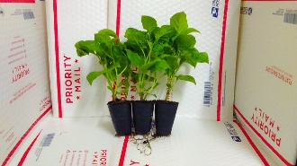 "3 Pack of Plants - TS Moruga ""Satan Strain"" Yellow"