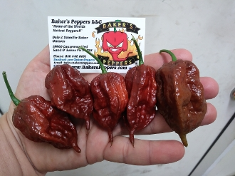 Kraken Scorpion Chocolate - 20+ Seeds